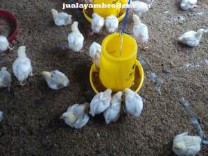 Jual Ayam Broiler Jakarta Pusat