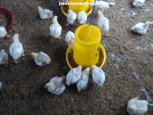 Jual Ayam Broiler Depok