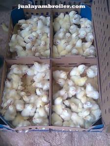 Jual Ayam Broiler di Pondok Ungu