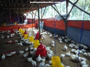 Jual Ayam Broiler di Bintara