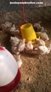 Jual Ayam Broiler Margahayu