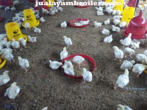 Jual Ayam Broiler Pinang Ranti Jakarta Timur