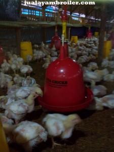 Jual Ayam Broiler Kayu Putih Jakarta Timur