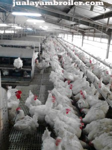 Jual Ayam Broiler di Harapan Baru Bekasi