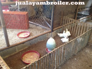 Jual Ayam Broiler Ciputat Tangerang Selatan