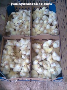 Jual Ayam Broiler di Kaliabang Bekasi