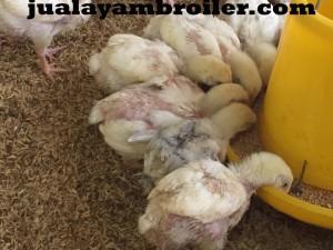 Jual Ayam Broielr di Cibinong Bogor