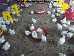 Jual Ayam Broiler Sukamakmur Bogor