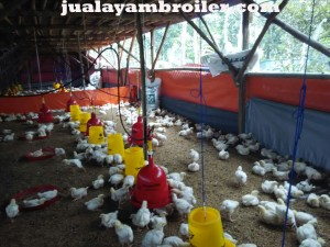 Jual Ayam Broiler di Cileungsi Bogor