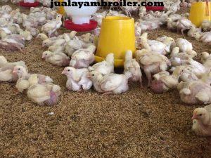 Jual Ayam Broiler di Tebet Jakarta Selatan