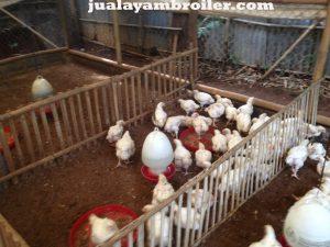 Jual Ayam Karkas di Pinang Ranti Jakarta Timur