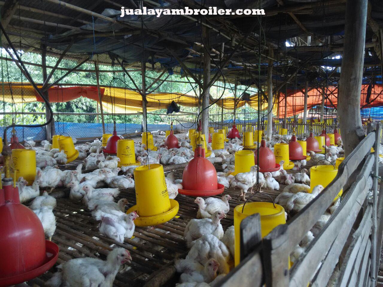 Jual Ayam Broiler di Bogor