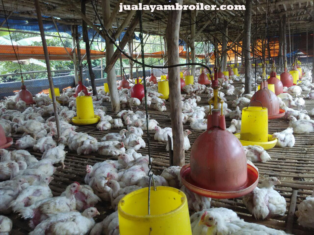 Jual Ayam Broiler Babelan