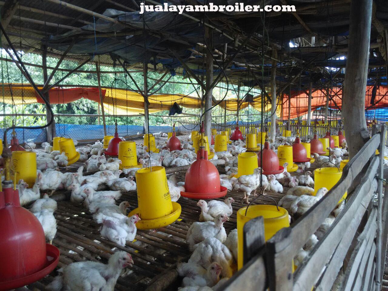 Jual Ayam Broiler di Babelan