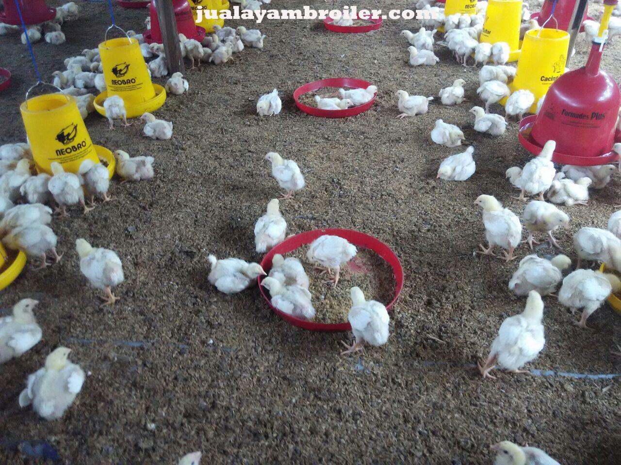 Jual Ayam Broiler Aren Jaya