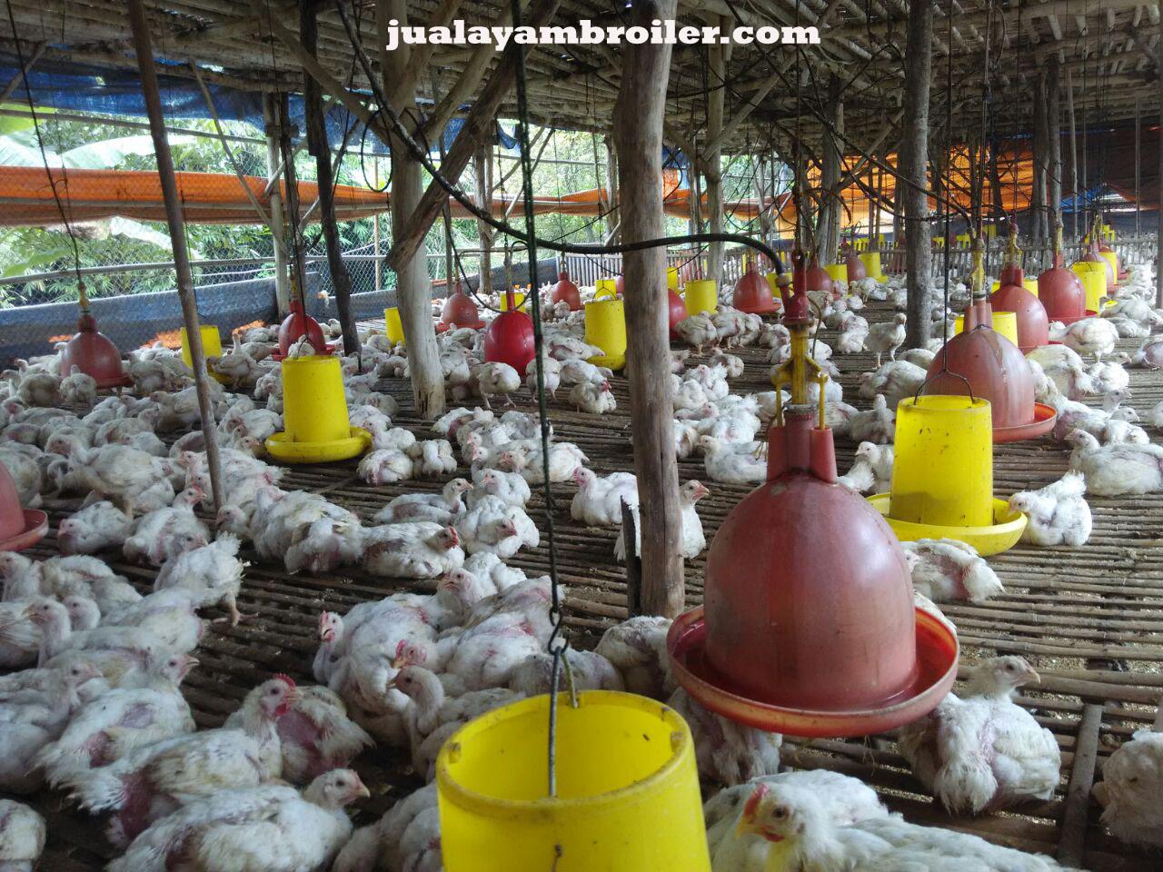 Jual Ayam Broiler Jakamulya