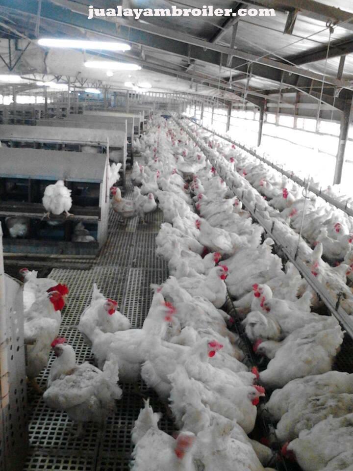 Jual Ayam Broiler di Bekasi Jaya