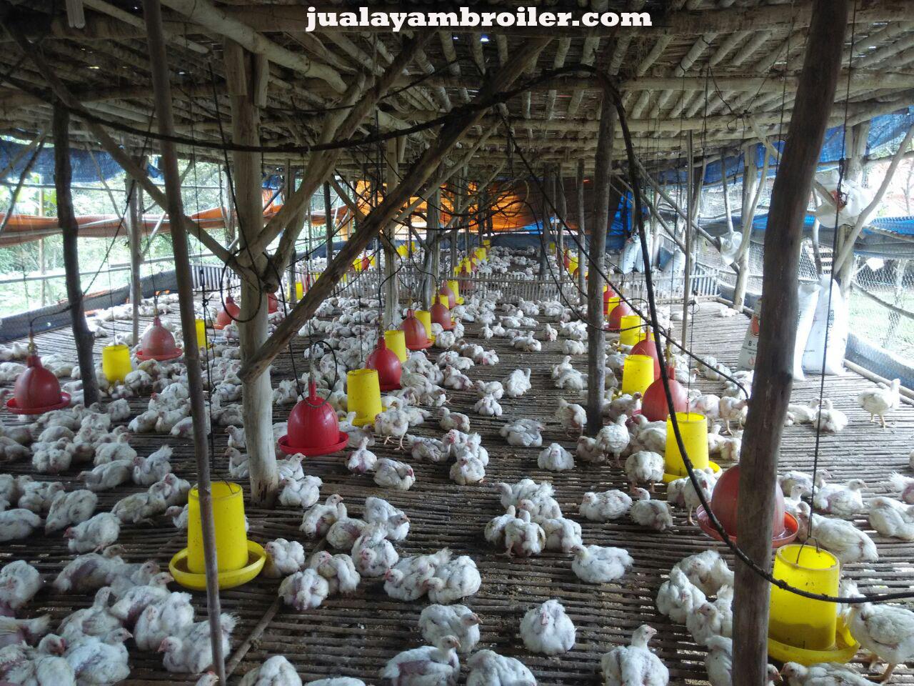 Jual Ayam Broiler Pekayon Jaya