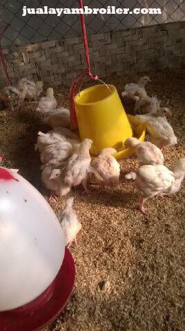 Jual Ayam Broiler di Halim