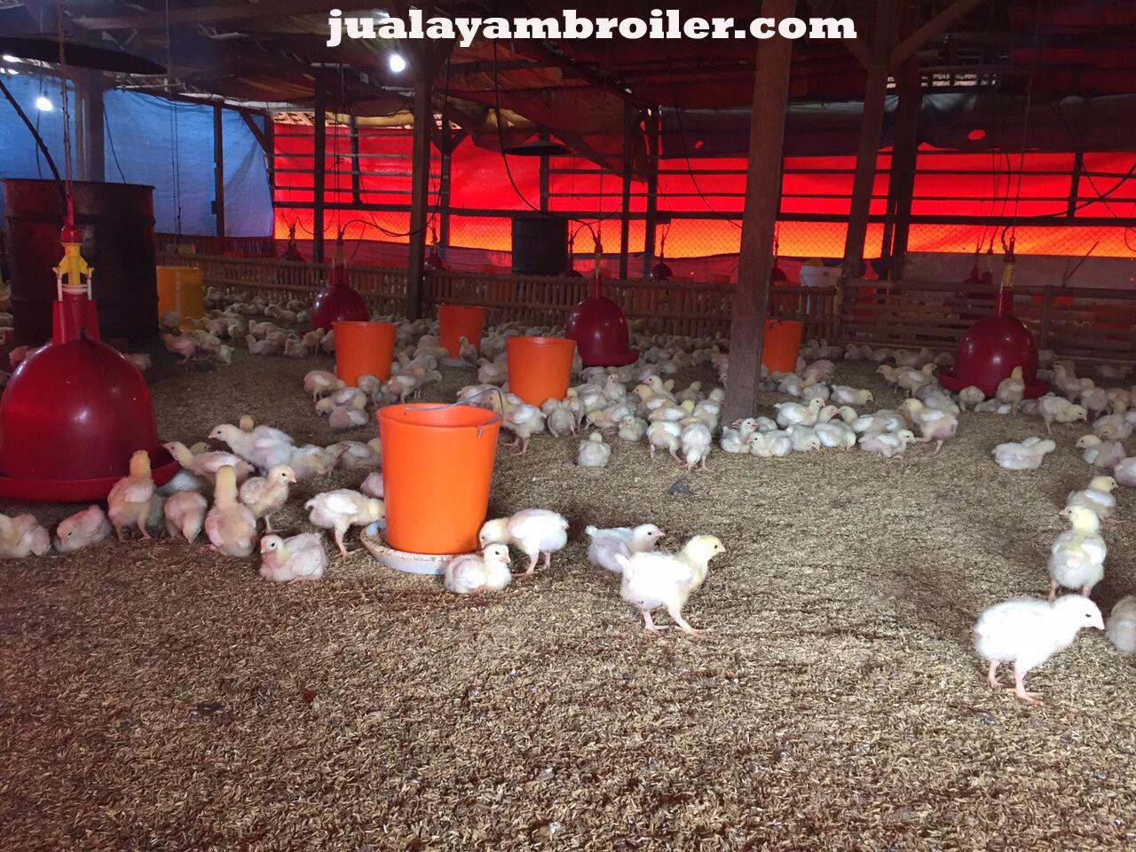 Jual Ayam Broiler di Utan Kayu Jakarta Timur