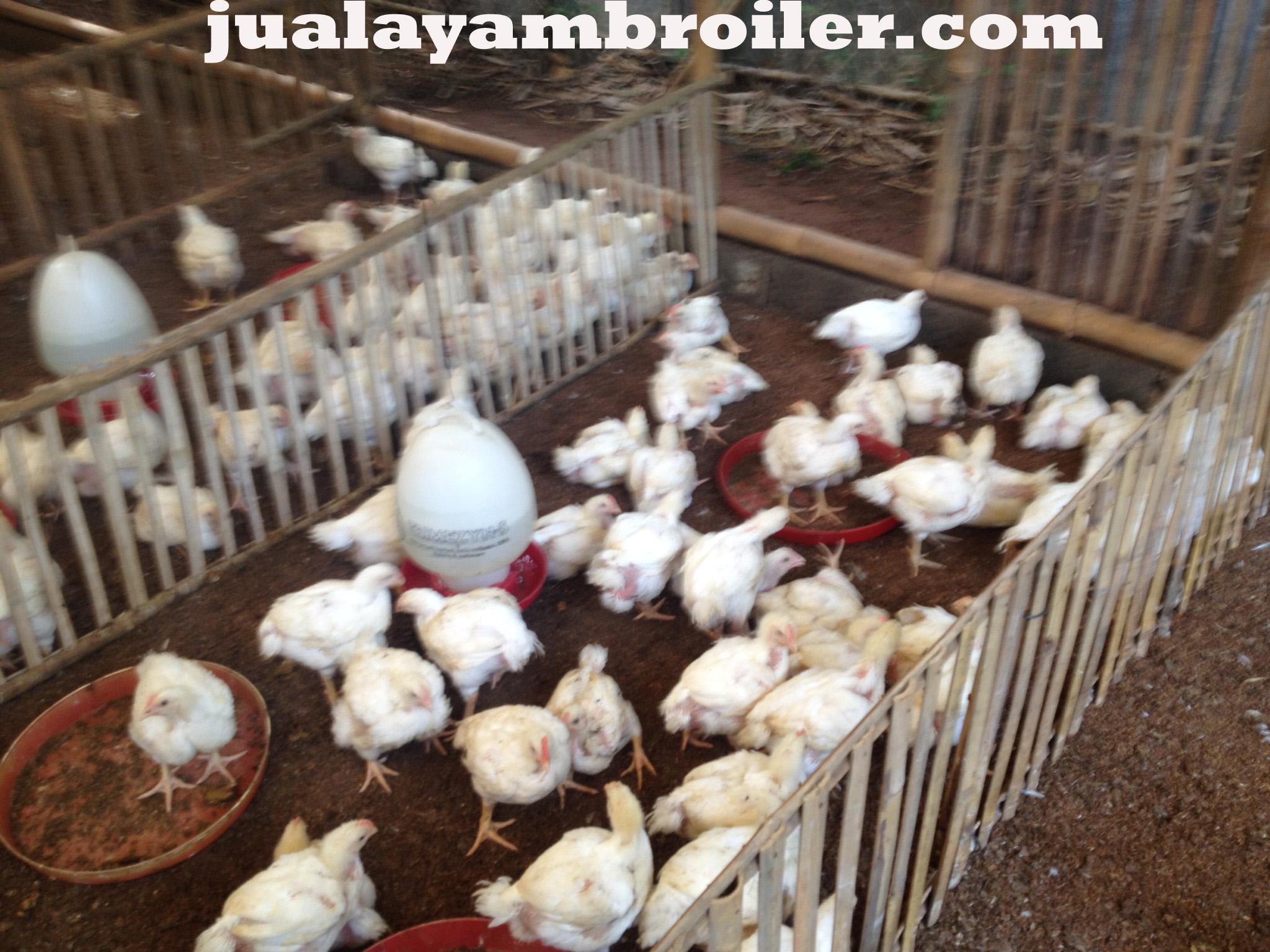Jual Ayam Broiler di Pondok Cabe Tangerang Selatan