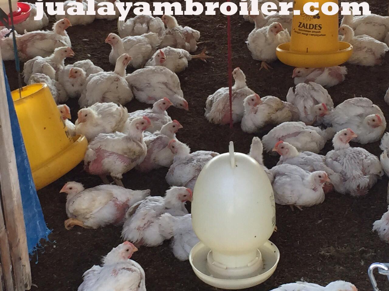 Jual Ayam Broiler Cibinong Bogor