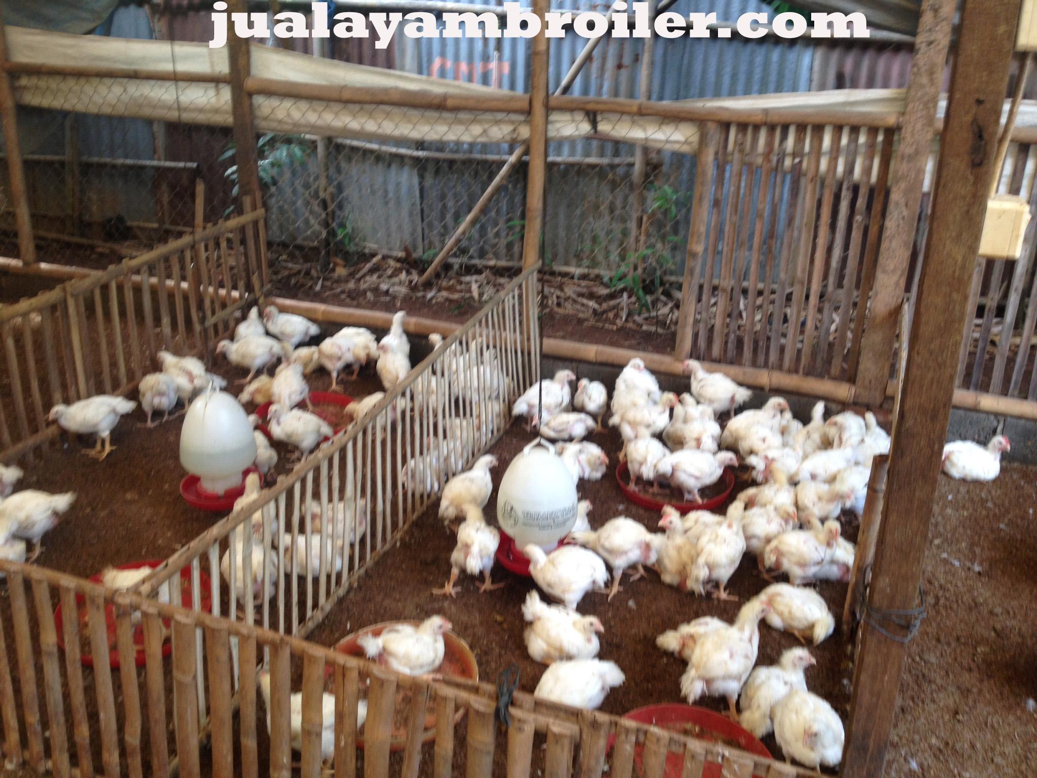 Jual Ayam Broiler di Gunung Putri Bogor