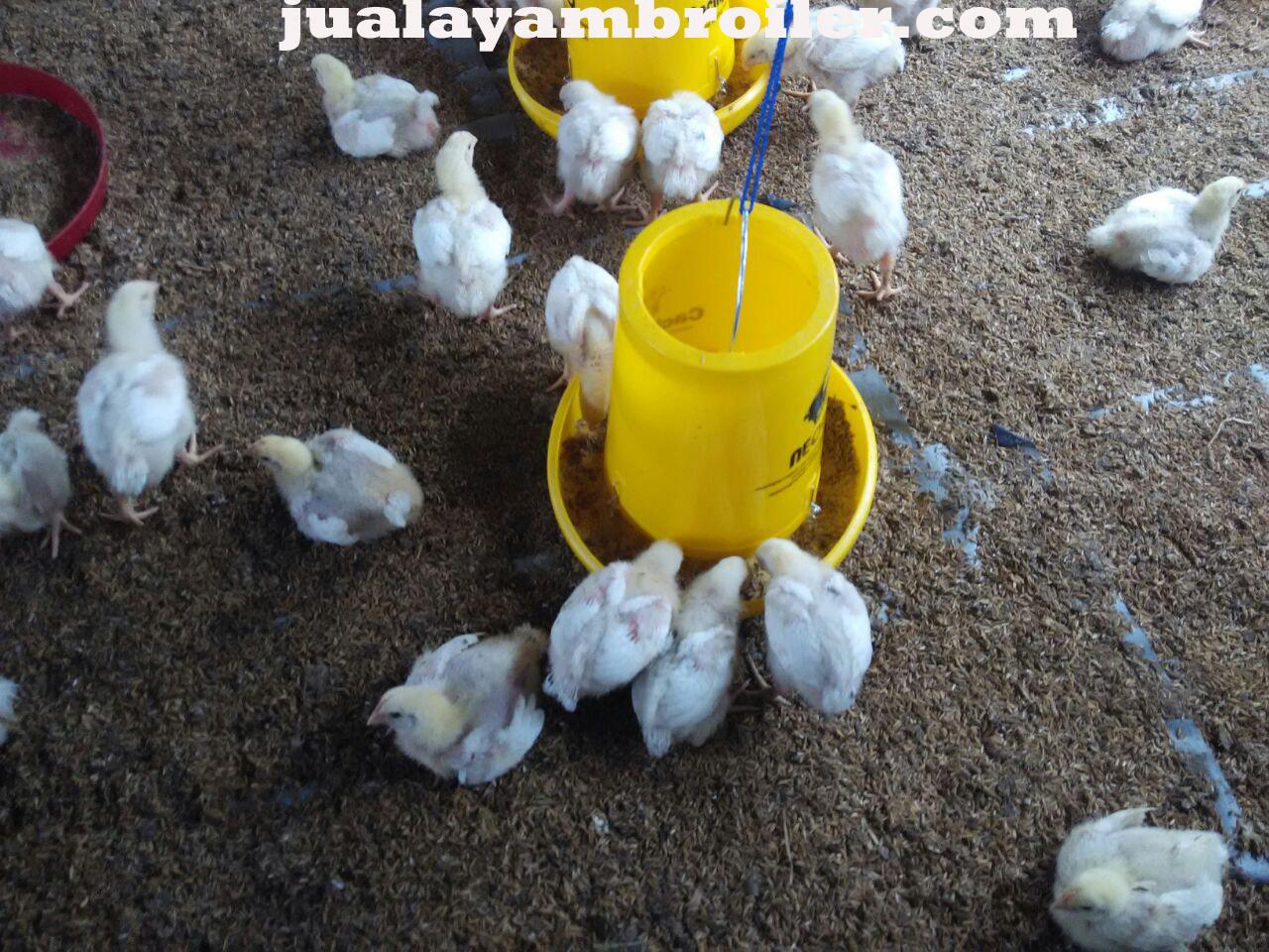 Jual Ayam Broiler Pancoran Jakarta Selatan
