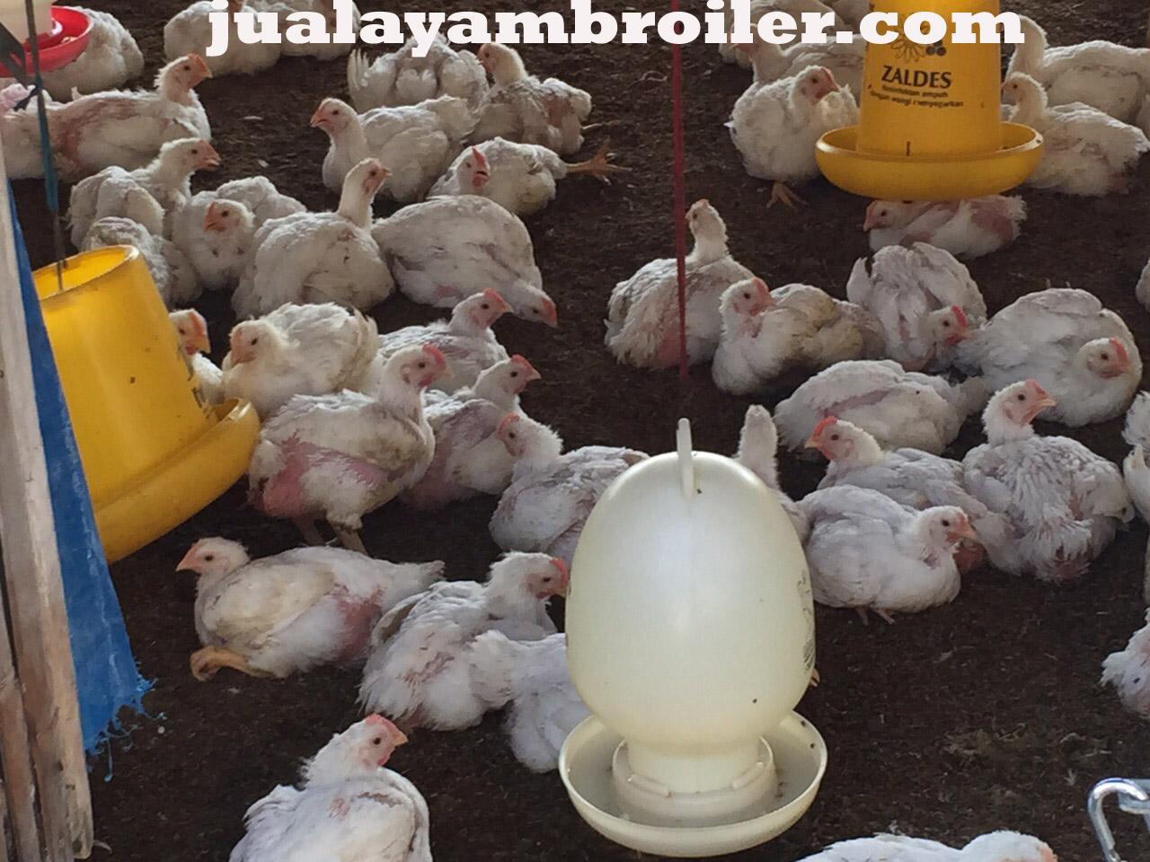 Jual Ayam Broiler Jatiasih Bekasi