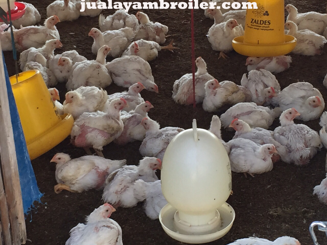 Jual Ayam Karkas Condet Jakarta Timur